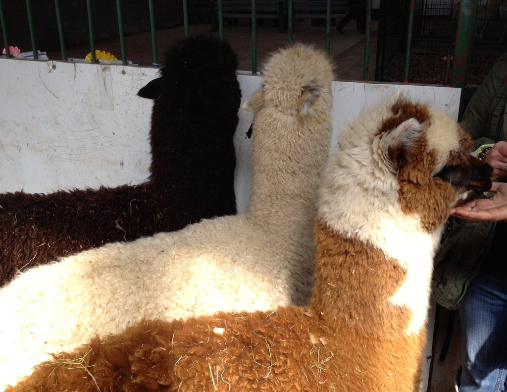 Mélanie's 3 female alpacas: Effie (white), Elaine (brown/white) and Evelyn (chocolate brown)